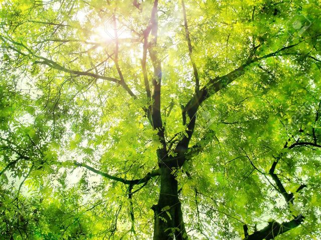 11754269-Sunlight-through-the-green-tree-Stock-Photo.jpg